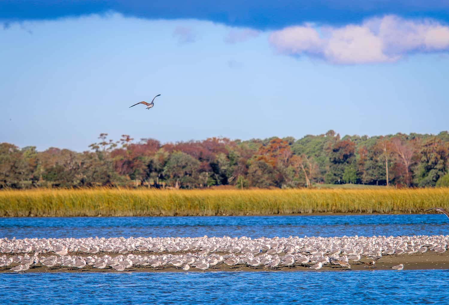 Gulls in Lynnhaven River at Low Tide