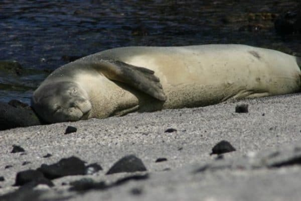 ENDANGERED SPECIES SPOTLIGHT- Hawaiian Monk Seal