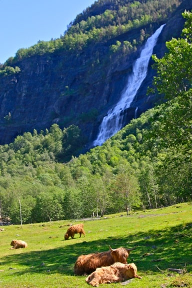 Highland Cattle Grazing Near Skjolden, Norway
