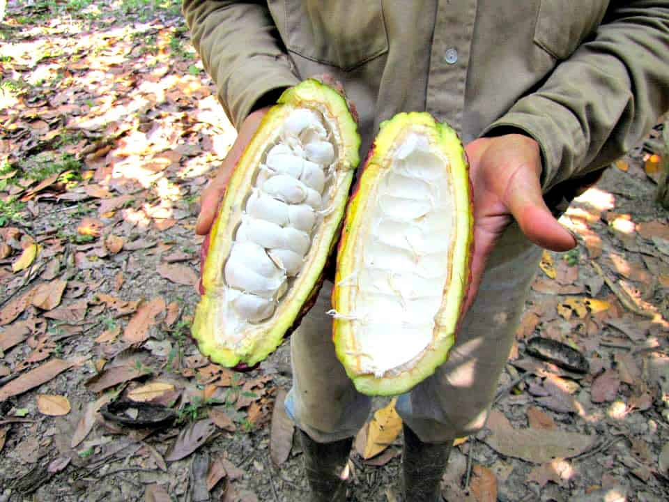 History of Chocolate A Guide to How Chocolate is Made - Open Cacao Pod