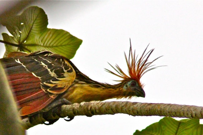 Hoatzin Punk Rock Bird