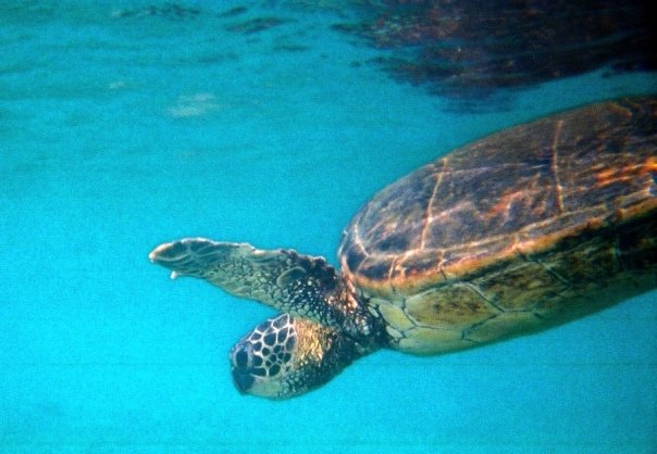 Green Sea Turtle in Hawaii