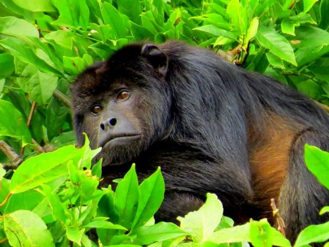Howler Monkey in Bolivian Amazon