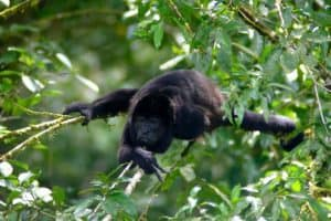 Ecotourism in Costa Rica: Howler Monkey