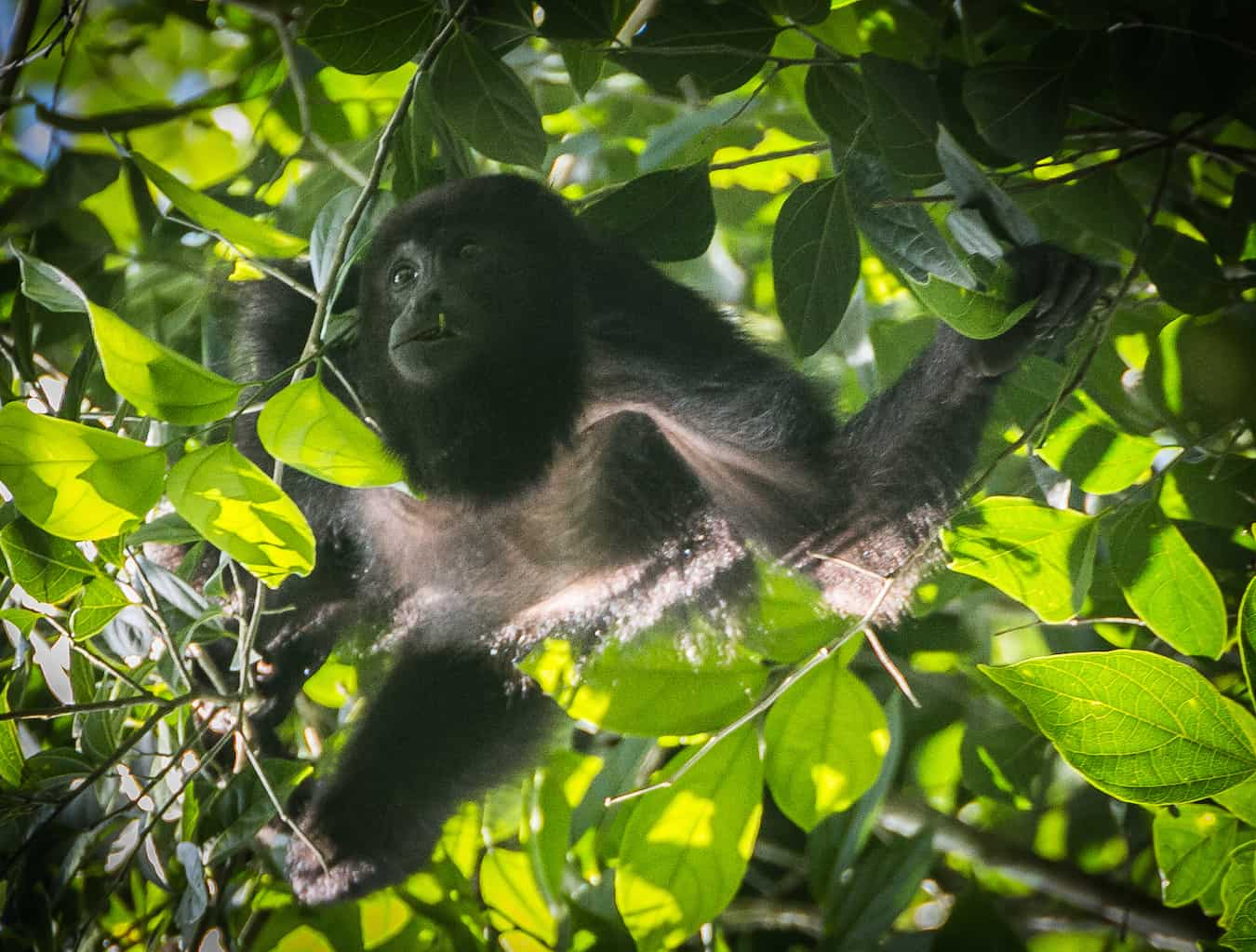 Howler Monkey in Cockscomb_Basin_Wildlife_Sanctuary_Belize