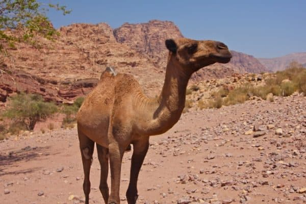 Ecotourism in Jordan: Camel in Dana Biosphere Reserve