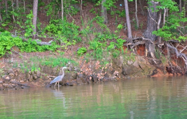 Great Blue Heron on Lake Allatoona, Georgia