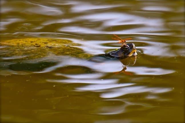 Turtle & Flame Skimmer Dragonfly in J.N. Ding Darling National Wildlife Refuge