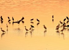 Birds at Sunset in J.N. Ding Darling National Wildlife Refuge