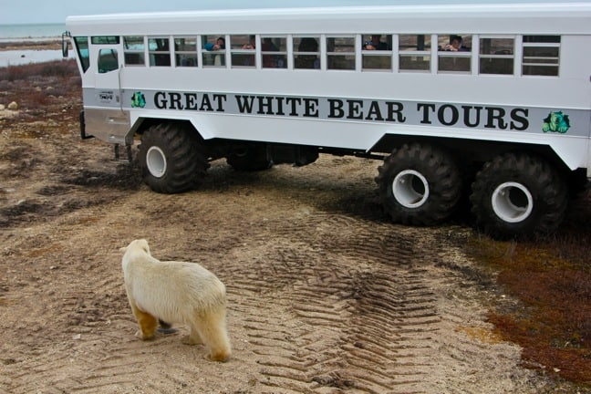 polar-bear-tour-churchill-manitoba
