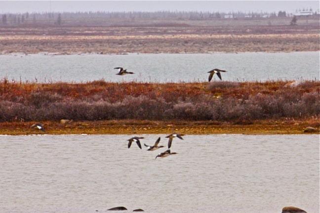 Red-Breasted-Mergansers-Churchill-Manitoba