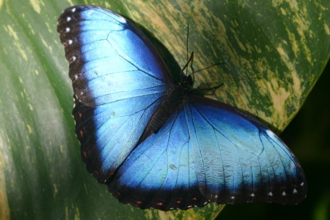 Blue Morpho at the Aruba Butterfly Farm