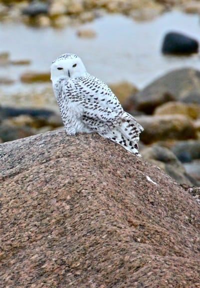 Snowy-Owl-Churchill-Manitoba
