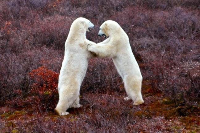 Polar Bear Fight in Churchill, Manitoba