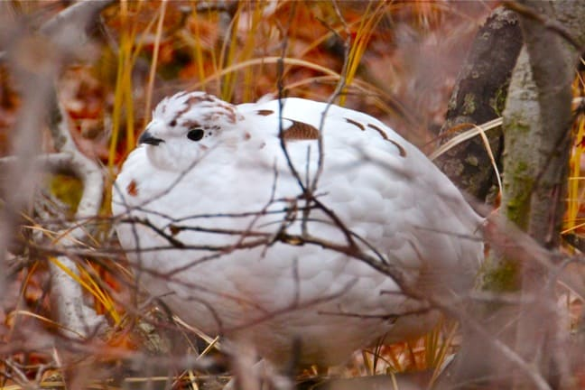 Willow ptarmigan-Tundra Animals
