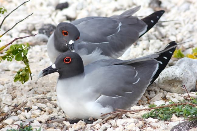Mating Pair of Red-Eyed Swallow-Tailed Gulls, Galapagos Islands
