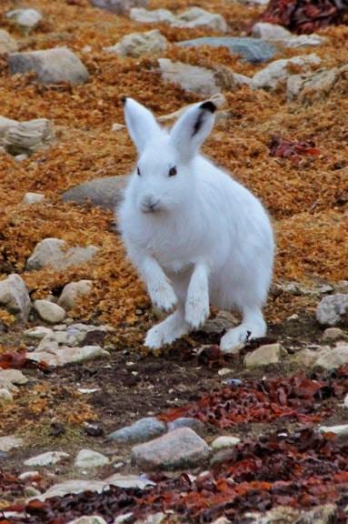 arctic-hare-Churchill-Manitoba