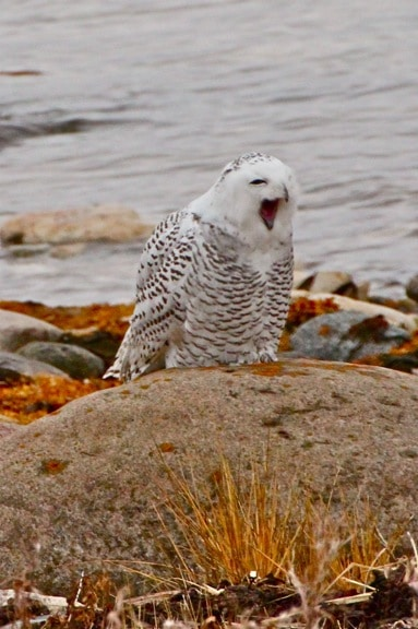Snowy-Owl-Yawn_Churchill_Manitoba