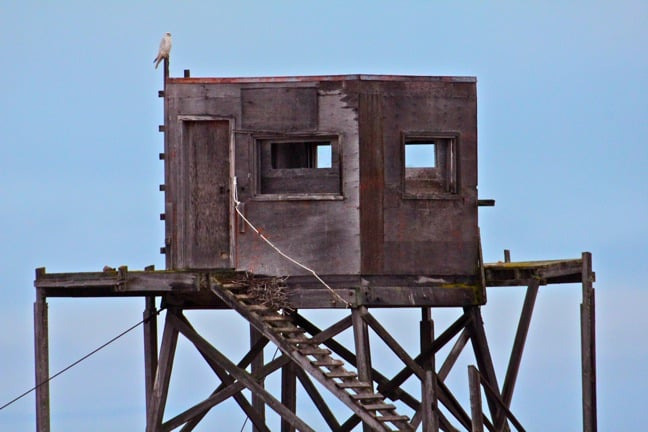 Gyrfalcon Atop An Old Observation Tower in Churchill, Manitoba