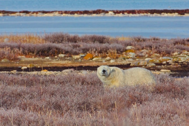 sleepy-polar-bear-Churchill-Manitoba