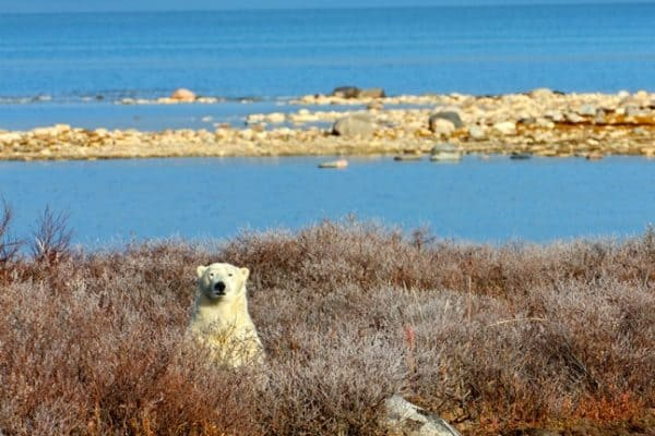 CHURCHILL Photos- Polar Bears, Snowy Owls & Other Tundra Wildlife