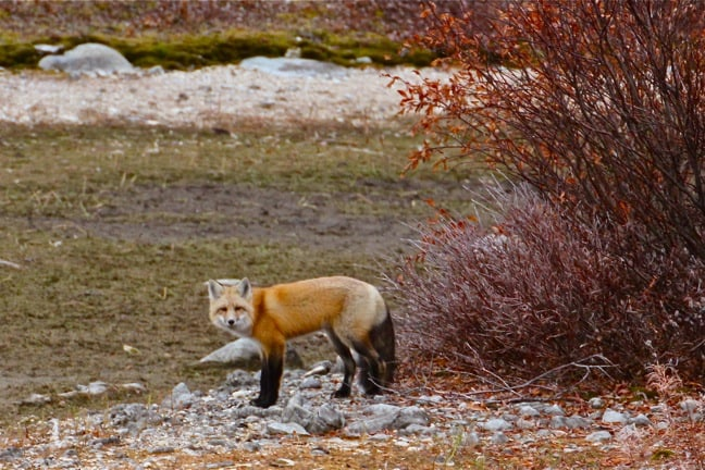 Red-Fox-Churchill-Manitoba