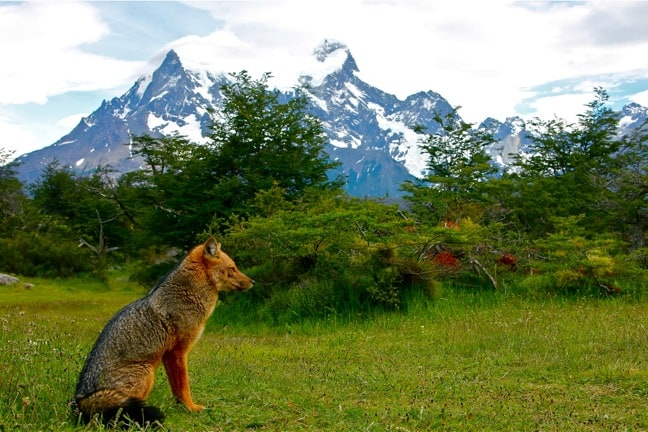 Red Fox in Torres del Paine National Park, Chile