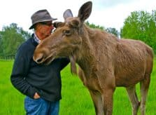 "Bo Alexandersson, the ""Moose Whisperer"" of Wrågården Farm, Raises Moose in Sweden"