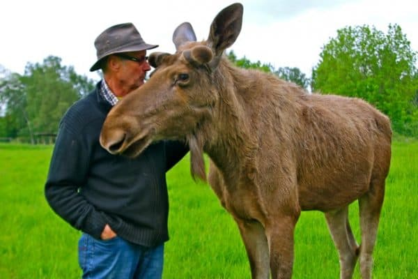 SWEDEN: The Moose Whisperer & the Coolest Moose in Sweden