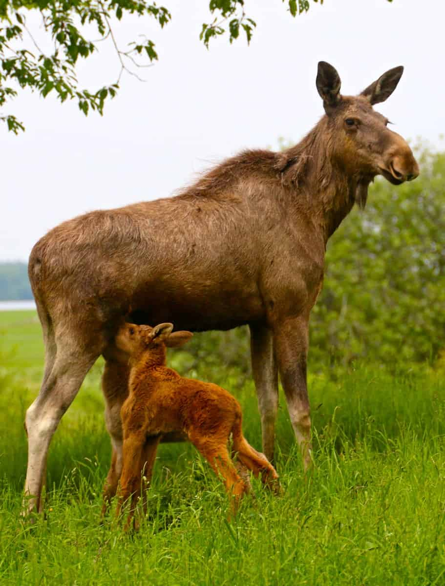 Twin Baby Moose Nursing Their Mama at Wragarden Farm, Sweden