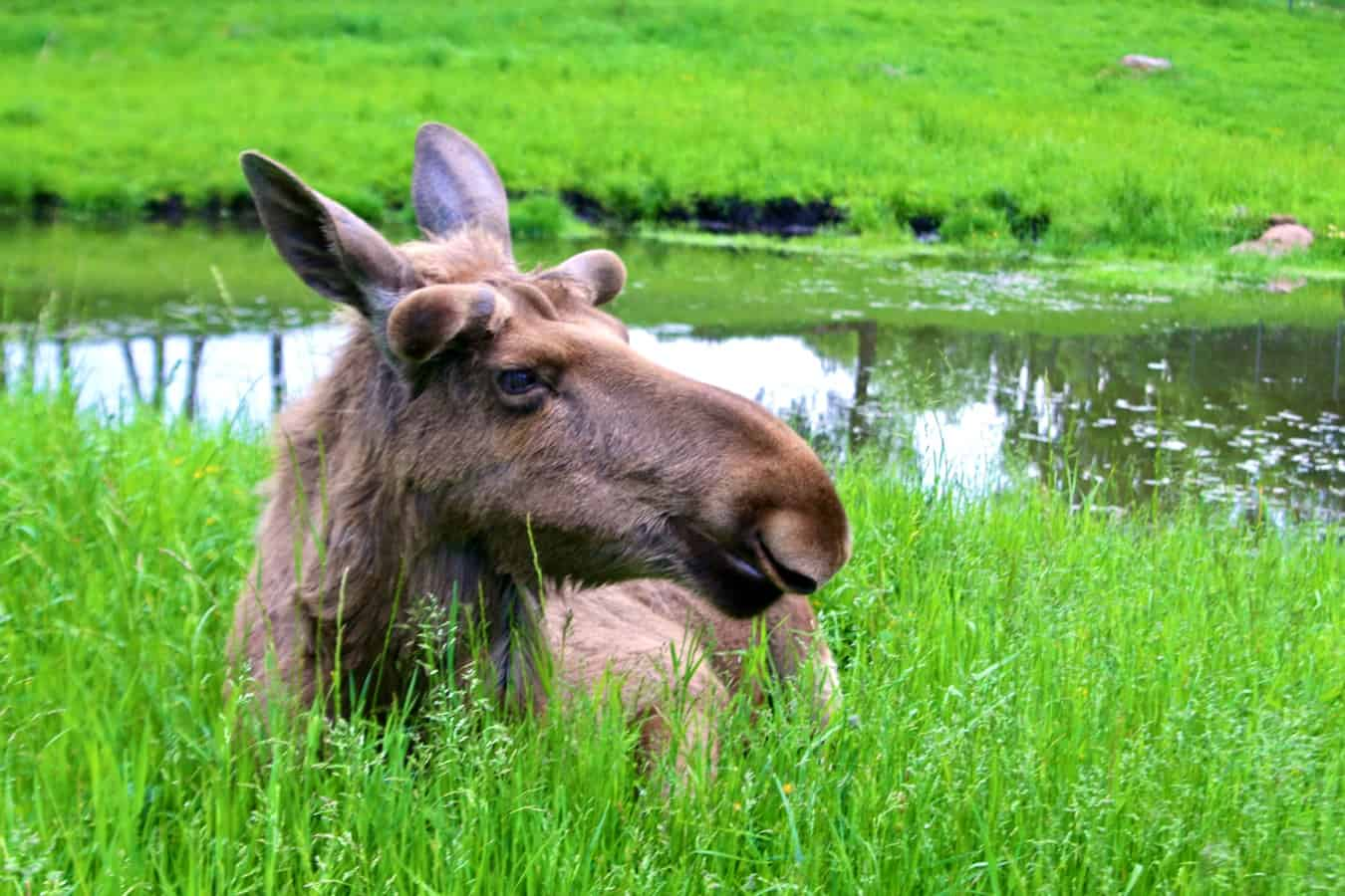Oskar, the coolest moose in Sweden, at Wragarden Farm in Falkoping