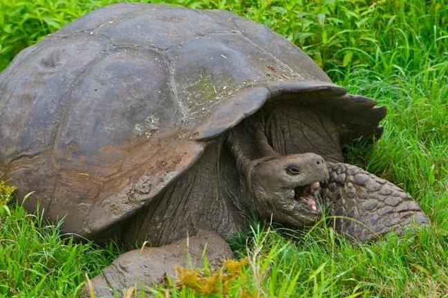 Yawning Galapagos Tortoise