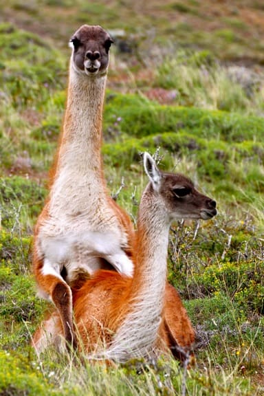Guanacos Mating in Torres del Paine National Park, Chile