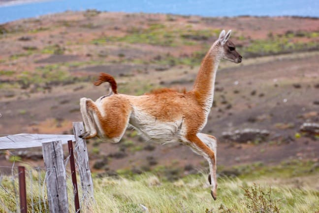Guanaco Jumping Fence in Torres del Paine National Park, Chile