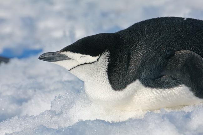 Penguins of Antarctica, Chinstrap penguin