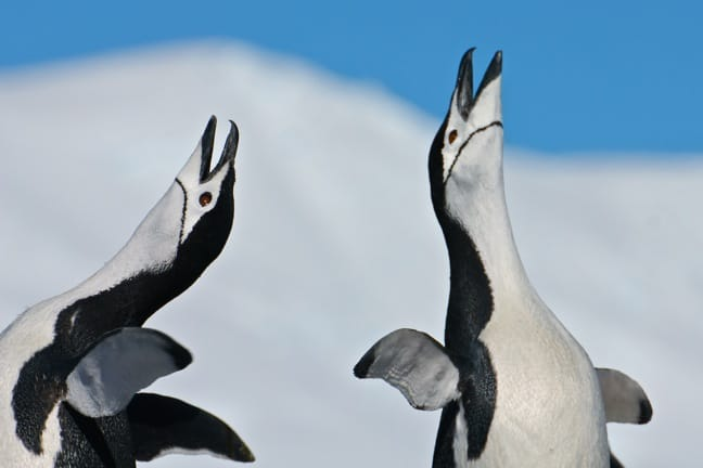 Mating Chinstrap Penguins in Orne Harbour, Antarctica