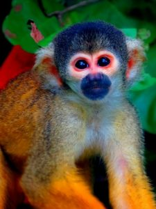 Squirrel monkey in the Bolivian Amazon