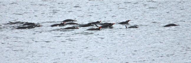 Penguins of Antarctica Swimming