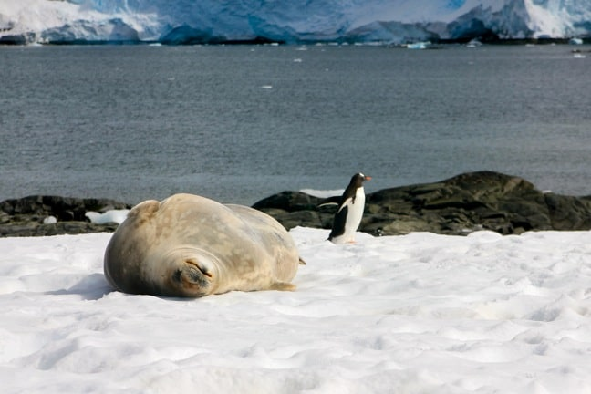Penguin and Weddell Seal in Antarctica
