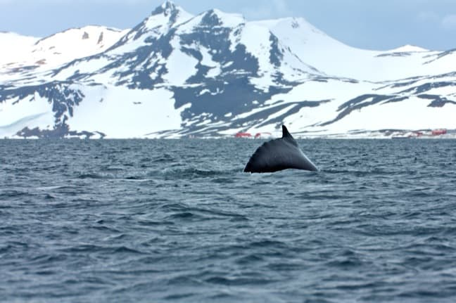 Humpback Whale Diving in Antarctica