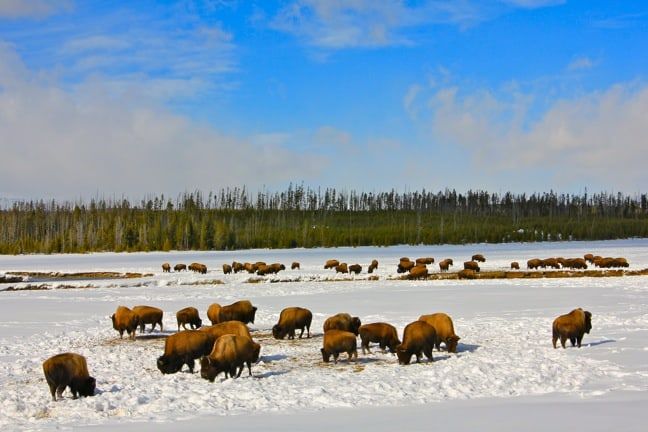 Bison Herds Grazing in Yellowstone National Park