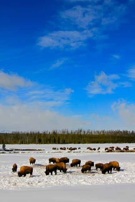Bison Herd Grazing in Snow, Yellowstone National Park via @greenglobaltrvl