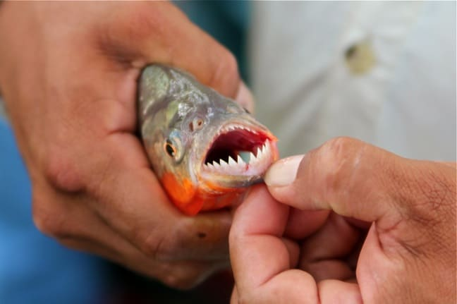 Fishing for Piranha in the Peruvian Amazon