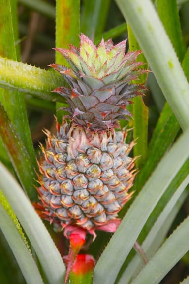 Pineapple Plantation in Moorea, Tahiti