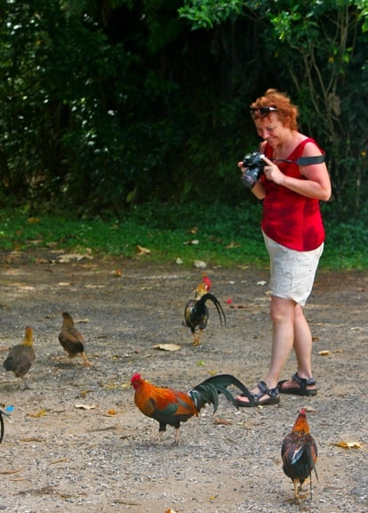Wild Chickens of Moorea, Tahiti