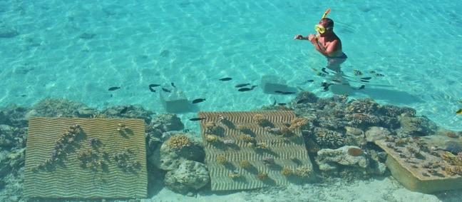 Snorkeling Bora Bora, The Ruahatu Lagoon Sanctuary's Coral Nursery