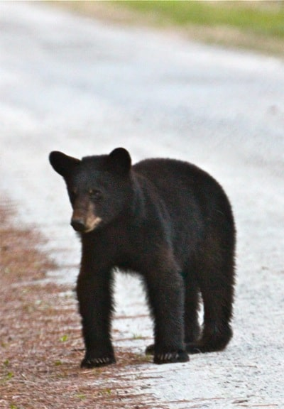 Black Bear Yearling, Alligator River National Wildlife Refuge