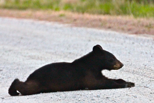 Black Bear Cub, Alligator River National Wildlife Refuge