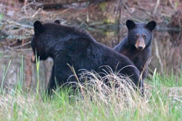 Mama & Baby Bear in Alligator River National Wildlife Refuge
