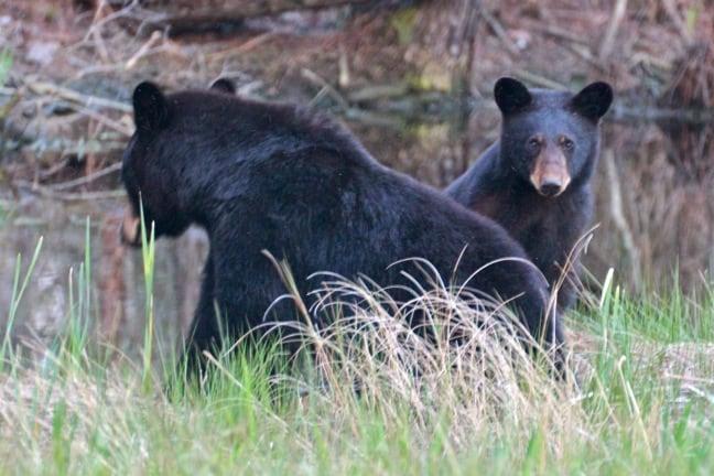 Mama & Baby Bear in Alligator River National Wildlife Refuge